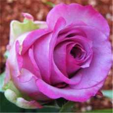 20 Pcs Rose Gardening Multi Color Bonsai Roses Living Room Ornamental Flower...